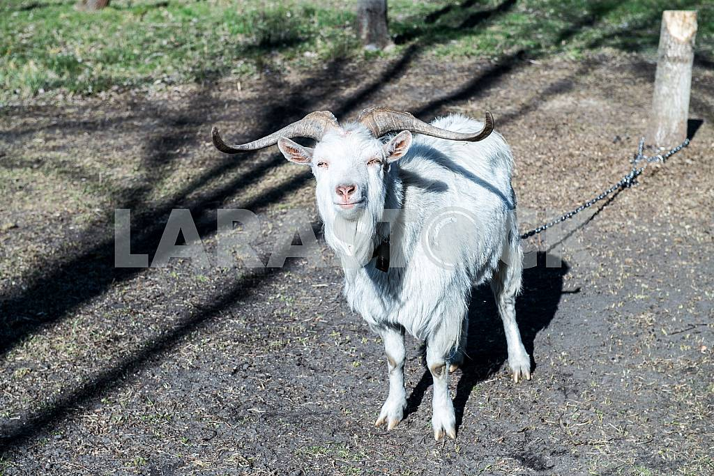 The goat stands and looks squinting — Image 27367