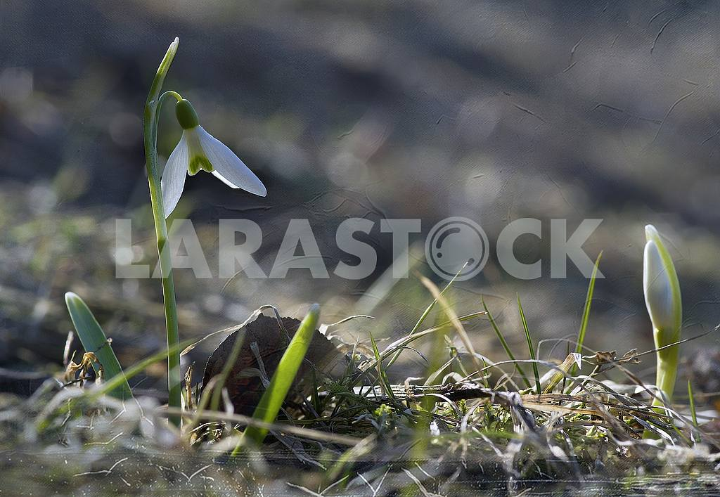 In the sunlight, a flower and a snowdrop's sprout. Closeup. Treatment. — Image 51608