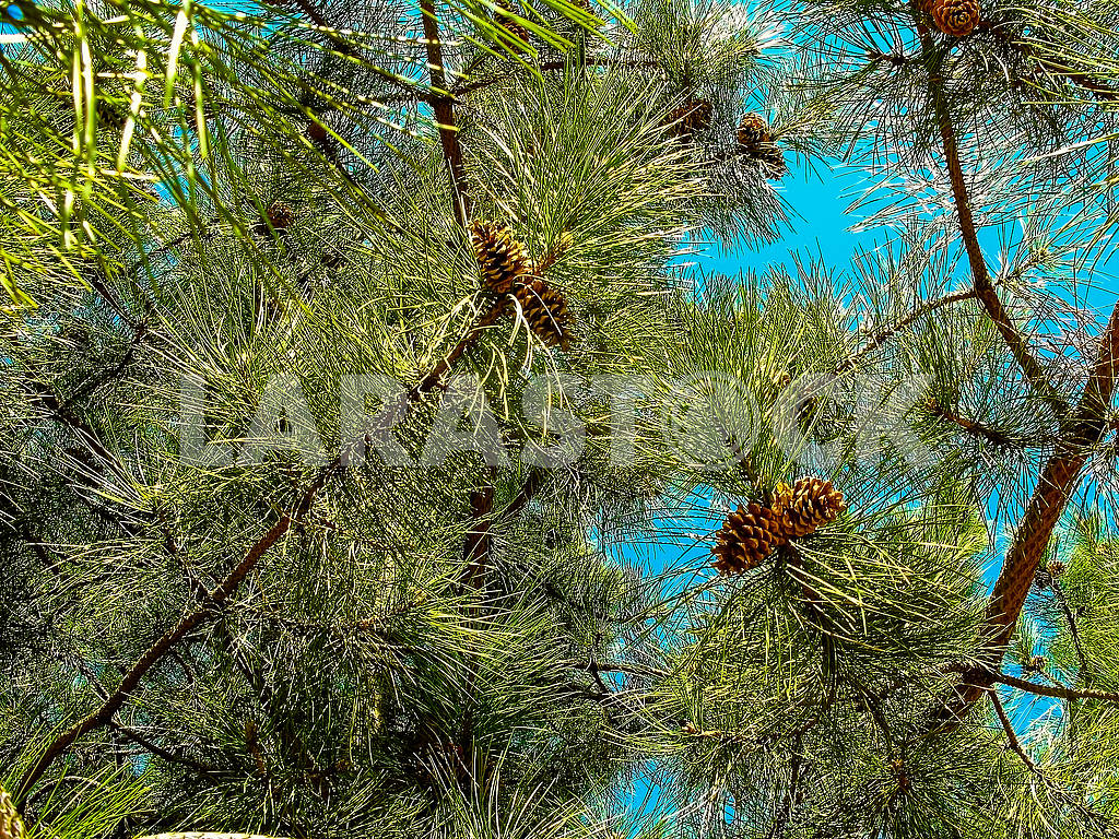 Pine branches with cones on a background of blue sky — Image 83018