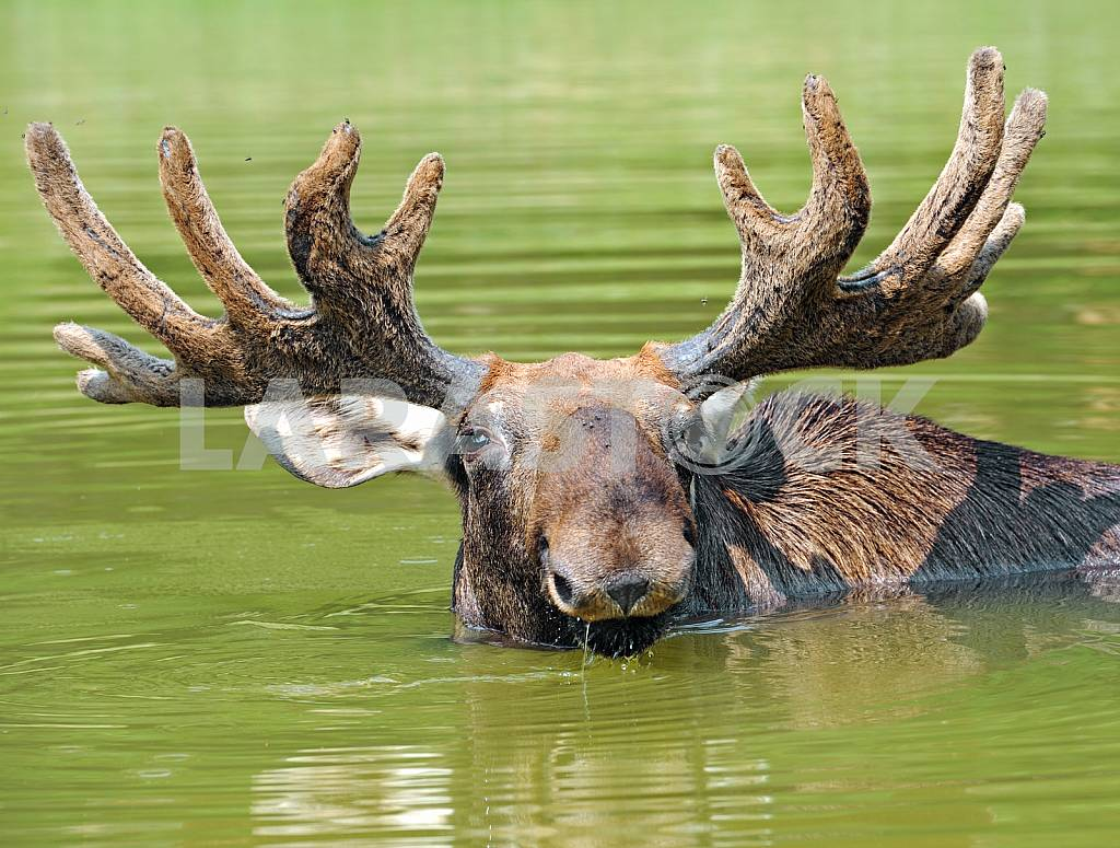 Elk to his neck in water — Image 25738