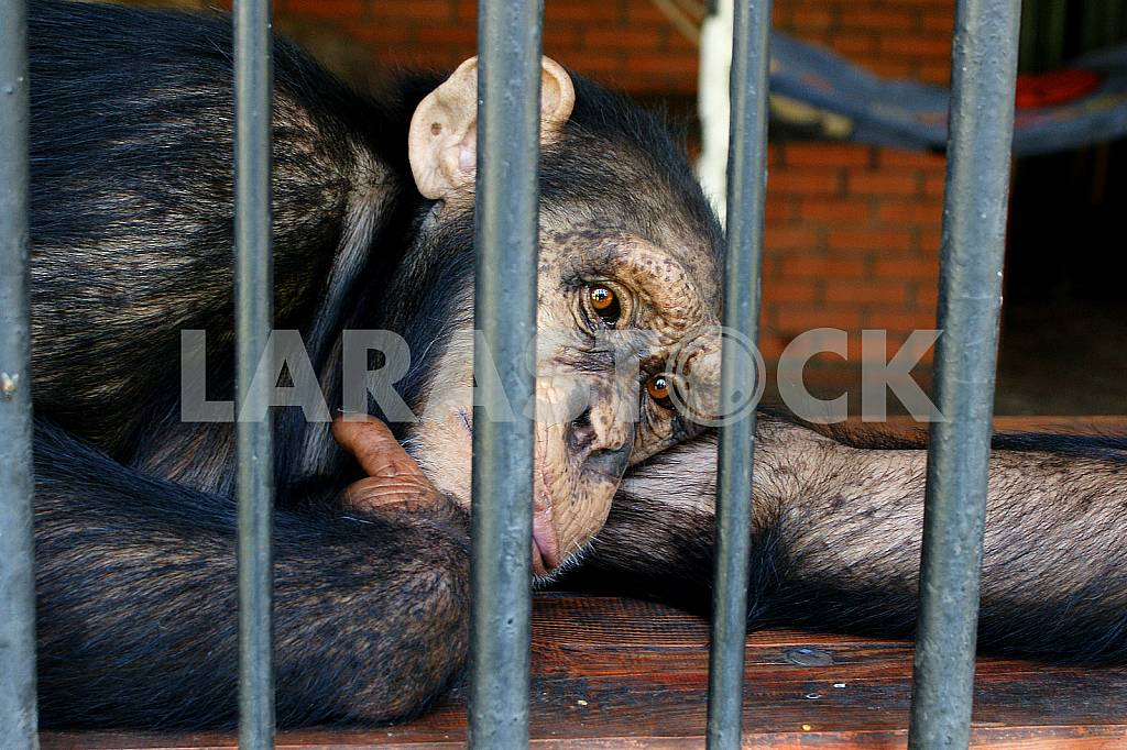 Gorilla in the cage — Image 25848
