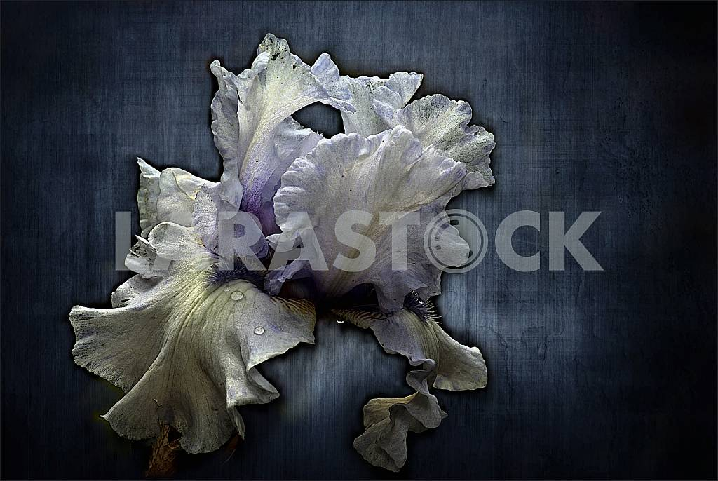 Flower white and blue iris with drops after rain on a dark blue background. Treatment. — Image 37248