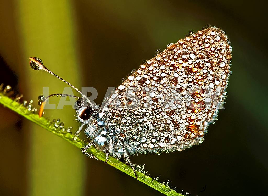 Butterfly-copper-butterfly covered with dew drops — Image 31458