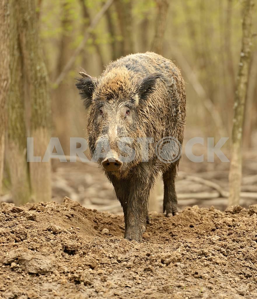 Wild Pig — Image 25558
