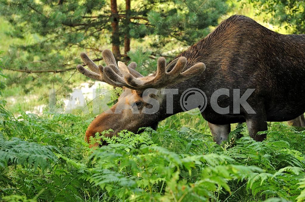 Elk eating leaves of a fern — Image 25678