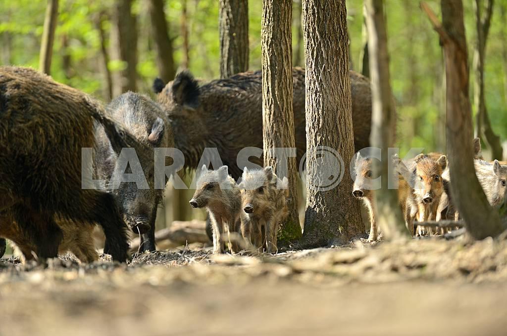 Wild pig — Image 25588