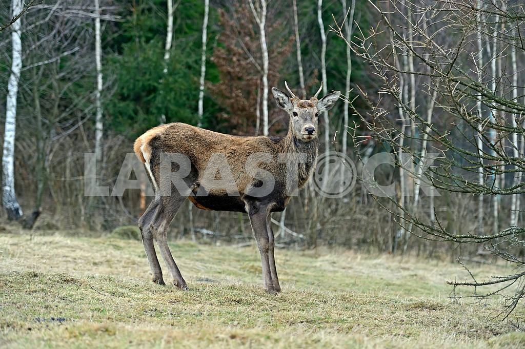 Red deer in their natural habitat — Image 1609