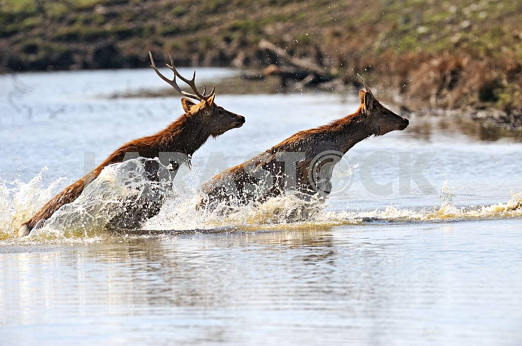 Deer in water — Image 25709