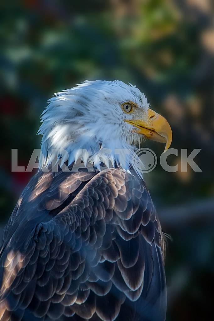 Bald Eagle. Seward, Girdwood — Image 45819