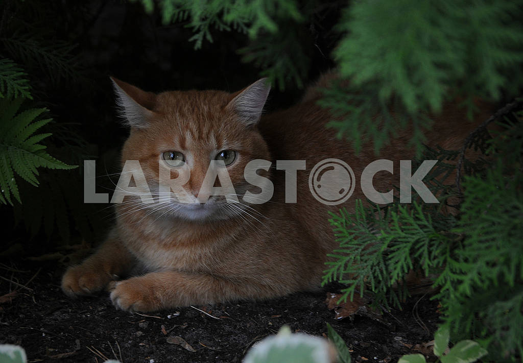 Red-headed cat — Image 61919
