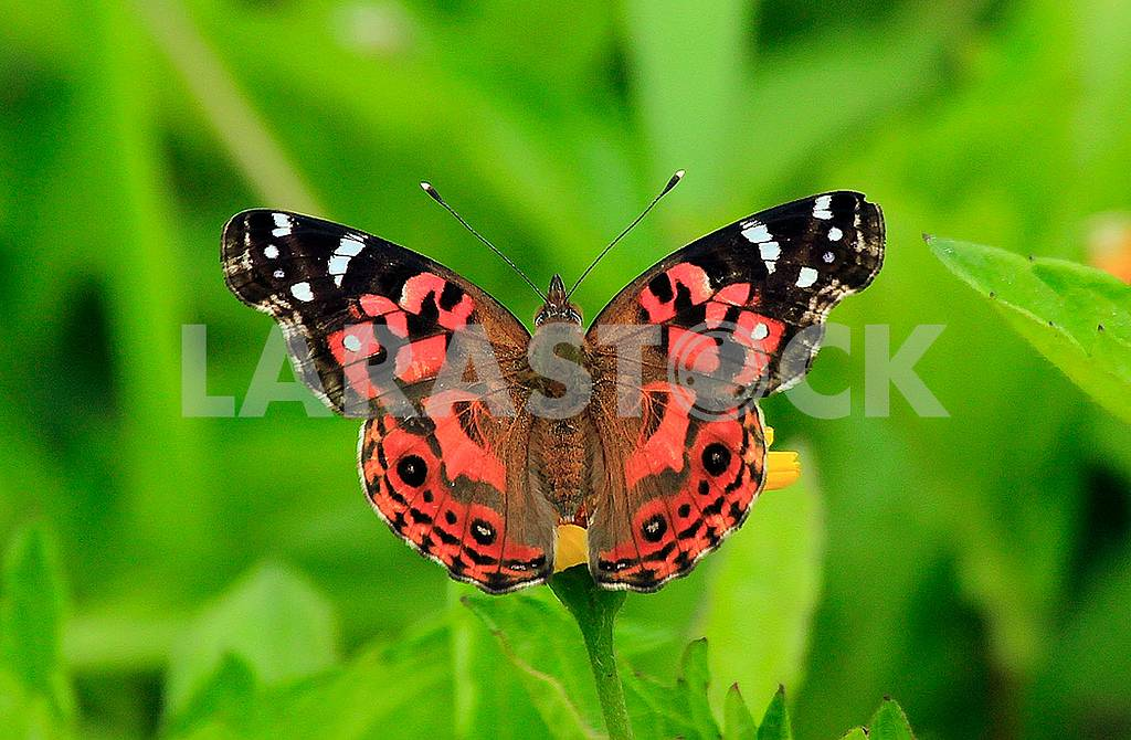Brazilian Painted Lady Butterfly — Image 56539