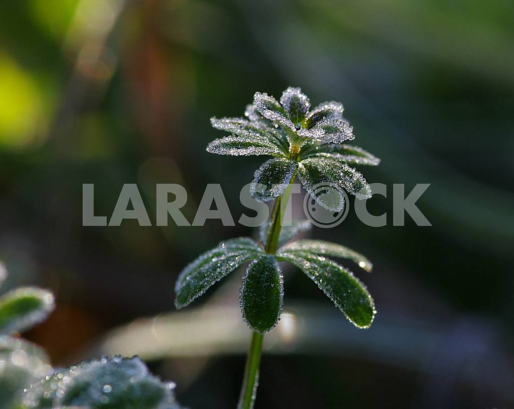 A green plant with round petals is covered with hoarfrost. Macrophotogaphy. — Image 45139