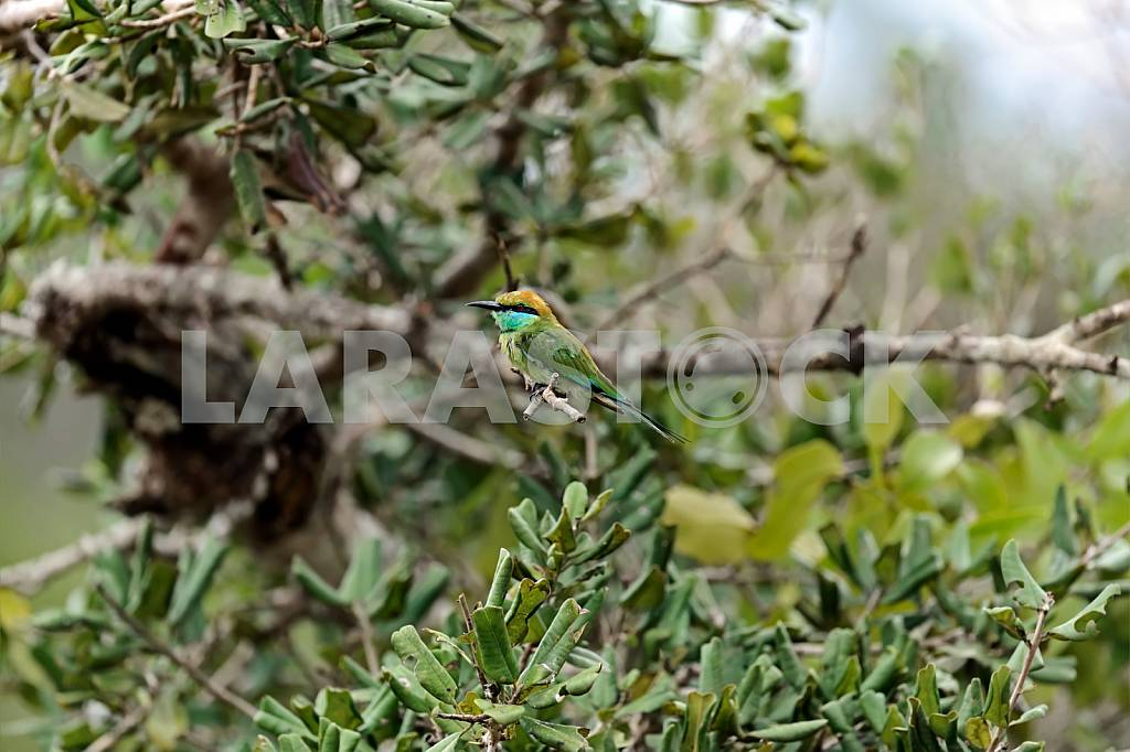 Bee-eater — Image 24449