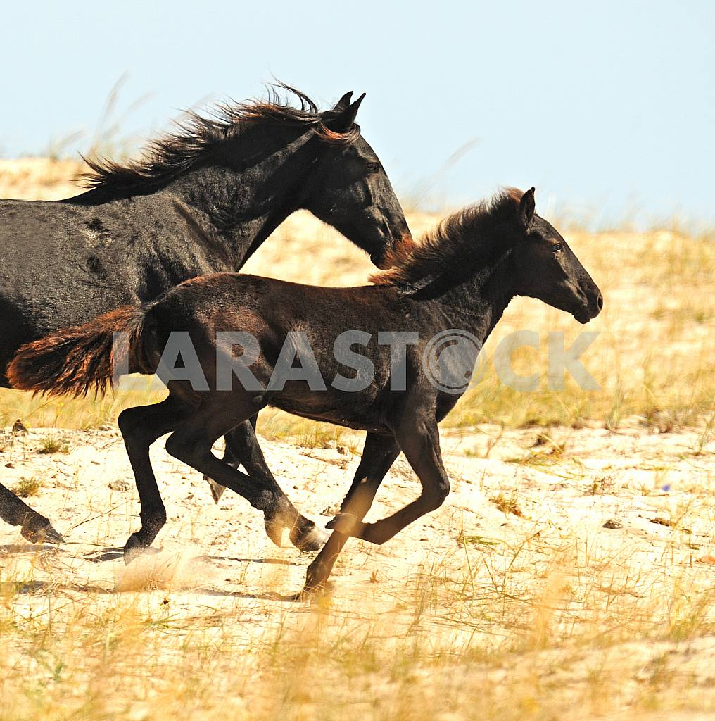 Black Horse and Foal — Image 25149