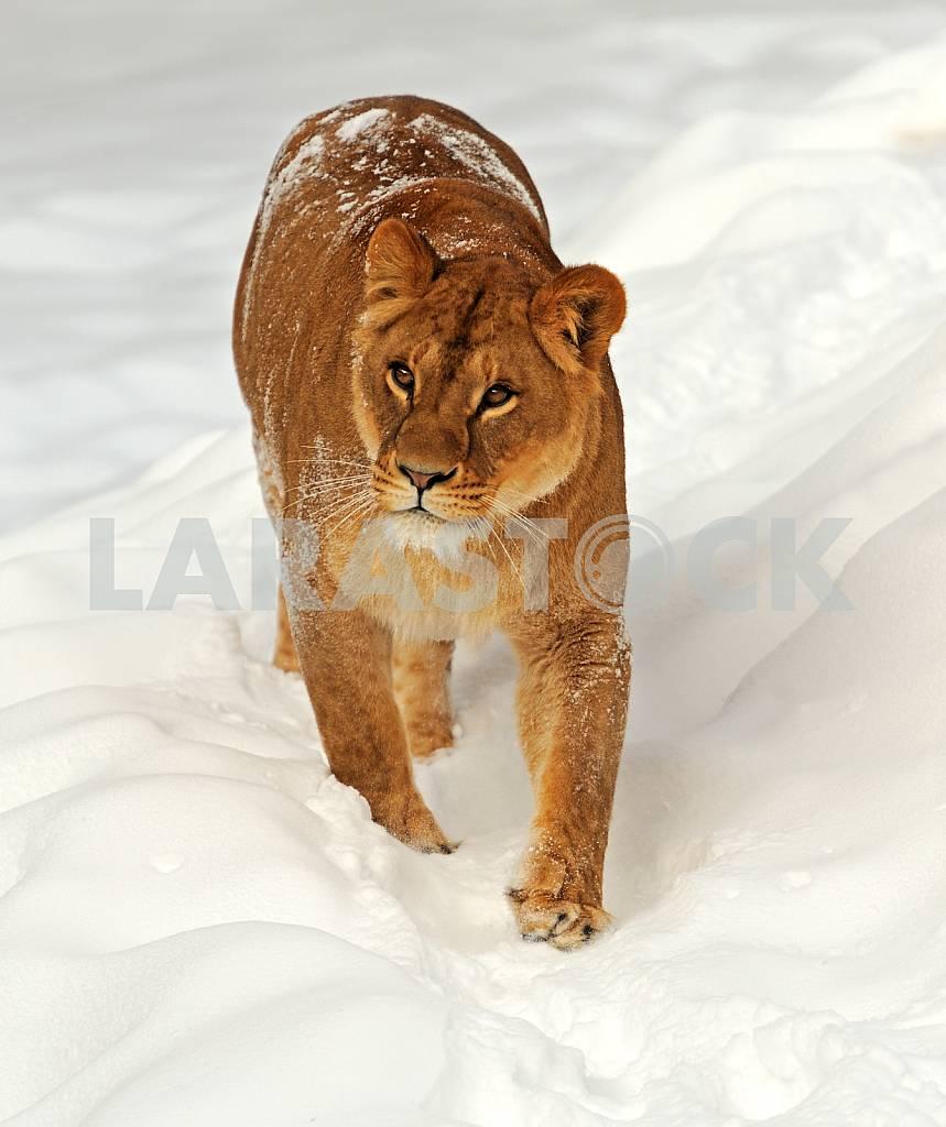Lion in a natural habitat — Image 24659