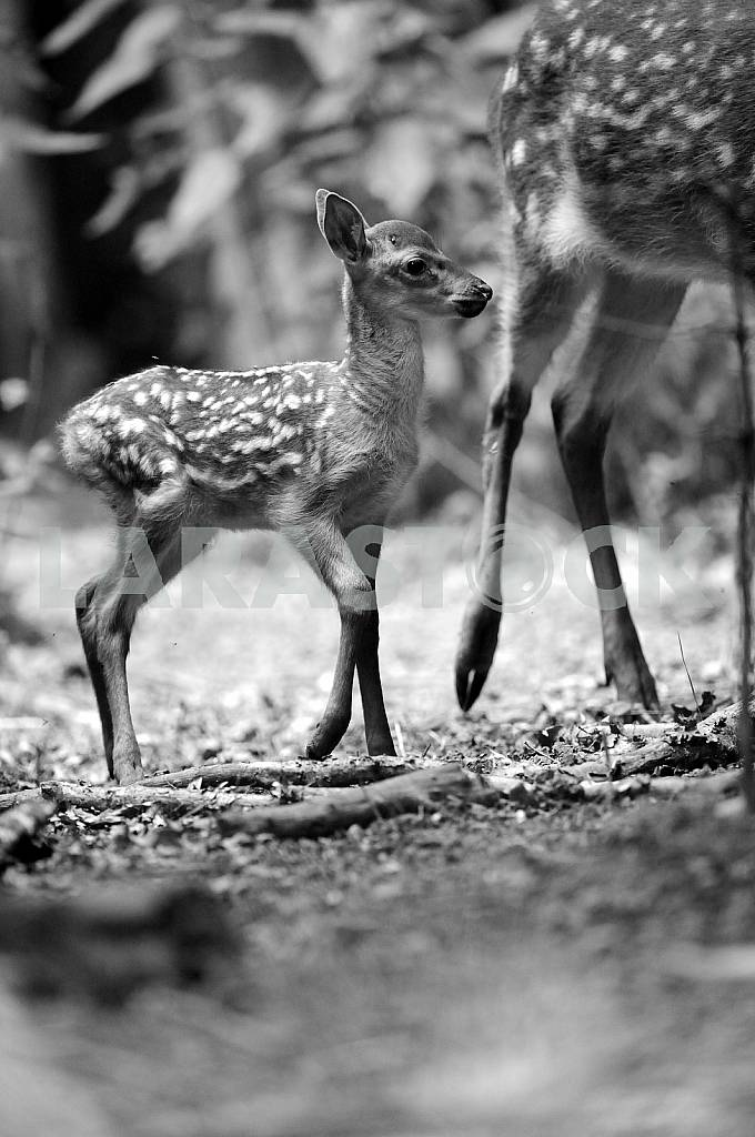 A baby deer. Black and white image — Image 25759