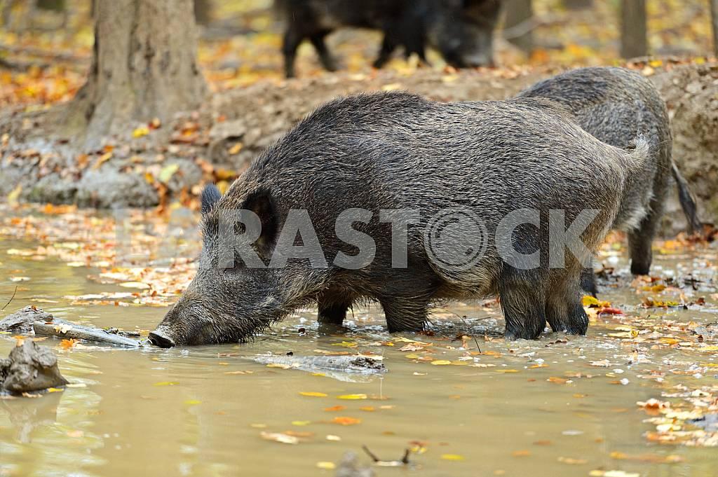 Wild pig — Image 25569