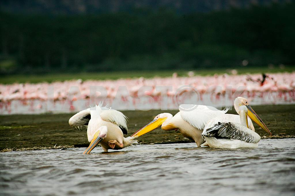 Pelicans in the water. Lake Baringo, Kenya — Image 37789