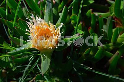 Carpobrotus Edulis is beautiful yellow flower with narrow petals