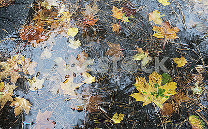 Maple leaves in a puddle