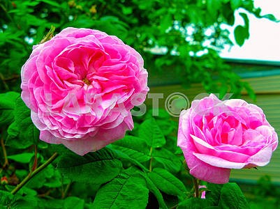 Tea rose flowers
