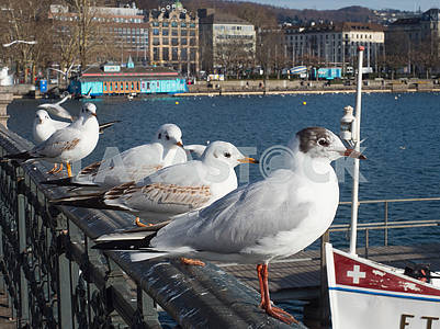 Seagulls on the waterfront in Zurich