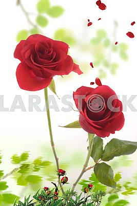 Red roses, petals are flying, reflected in the water