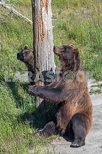 Вlack bear