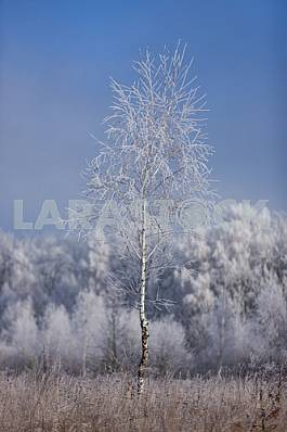 Tree in frost. Birch