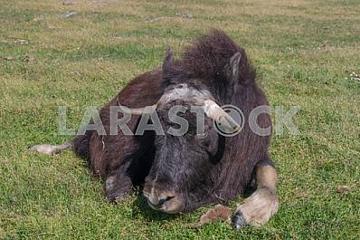 Musk Ox-the only modern representative of the kind of musk oxen.