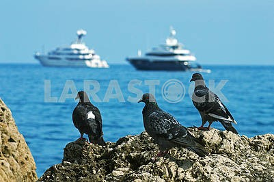 Three pigeons on the background of the sea