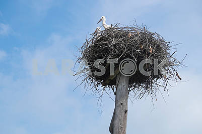 Cranes in the nest