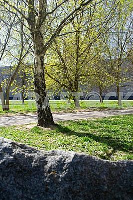 birch tree in city park, springtime, vertical image