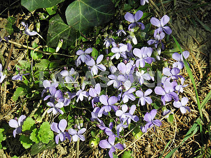 Springtime's awaking in the countryside,dog-violet,Croatia,3