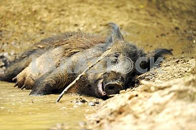 Wild boar lying in a pool