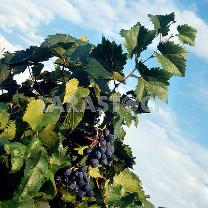 Grape plantation plant wines and brandies