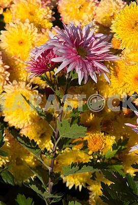 chrizantem