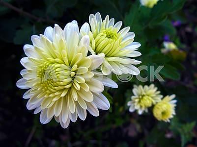 Белые цветы хризантемы