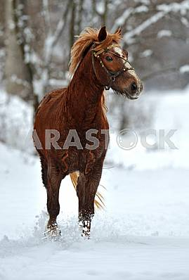 A horse gallops through the snow