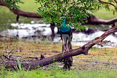 Peacock in Sri Lanka