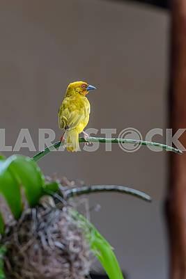 Yellow Goldfinch in Zanzibar