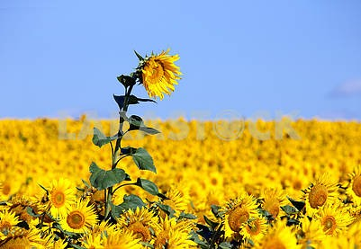 Sunflower on an early morning in a field