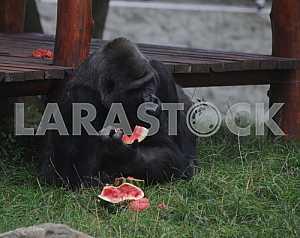 Tony gorilla