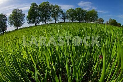 Поле весенней зелени