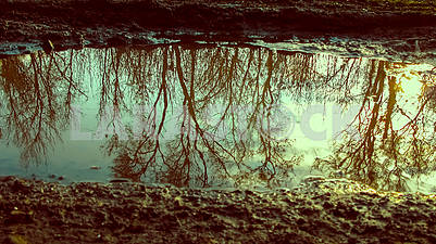 Reflection of trees in a puddle