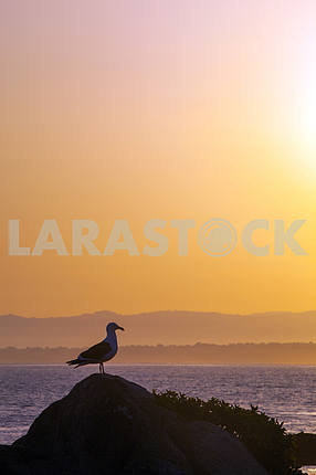 Seagull is standing on a rock near the ocean at sunset