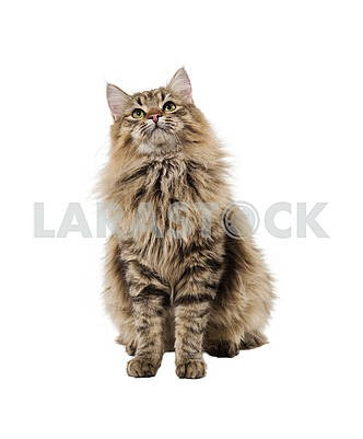 Furry cat sitting looking up front, isolated on empty white back