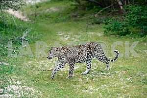 The leopard in Sri Lanka