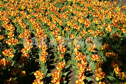 Rows of tulips, yellow - red, in the flowerbed
