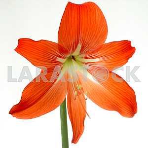 Hippeastrum Lilies blooming red Hippeastrum